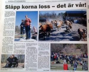 Artikel i KindaPosten om kosläppet hos Anna o Peter i Nystad. Kicki och jag hade vallningsuppvisning med LLL o Safe.